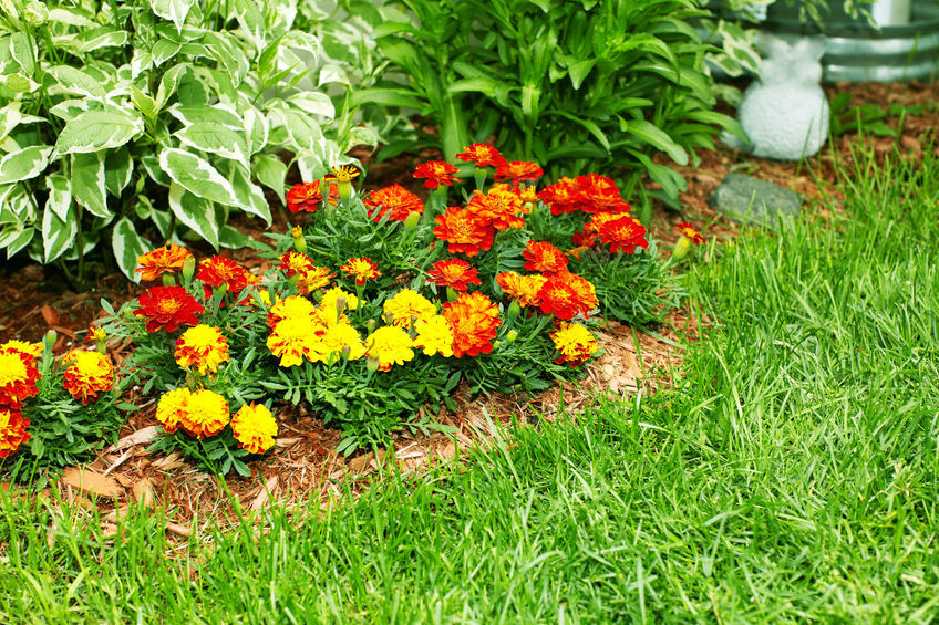 marigold flowers in summer garden